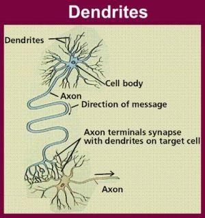 Dendrites_11